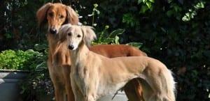 Dos perros de raza Saluki.