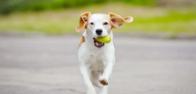 Perro corriendo con una pelota en la boca.