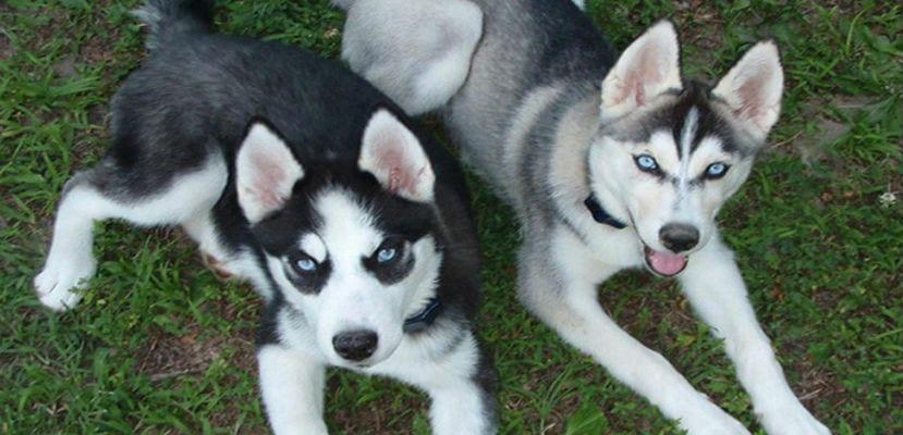Dos perros raza Pomsky.