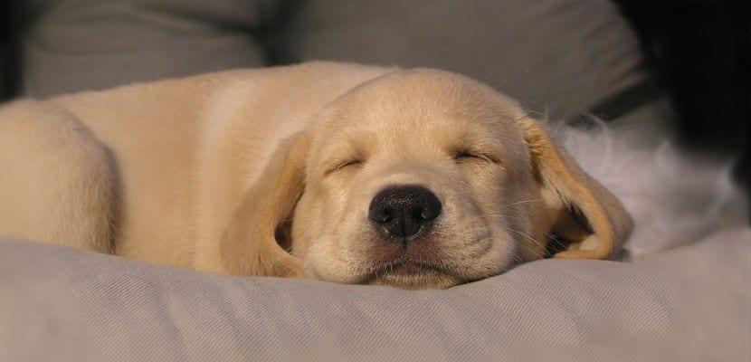 Cachorro de Labrador durmiendo..