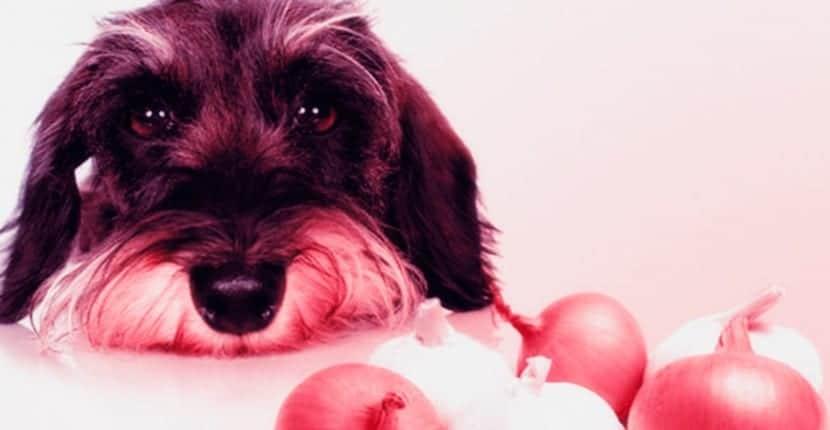 el-falso-mito-de-la-cebolla-en-la-alimentacion-del-perro