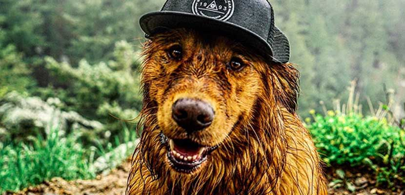 Golden Retriever con gorra