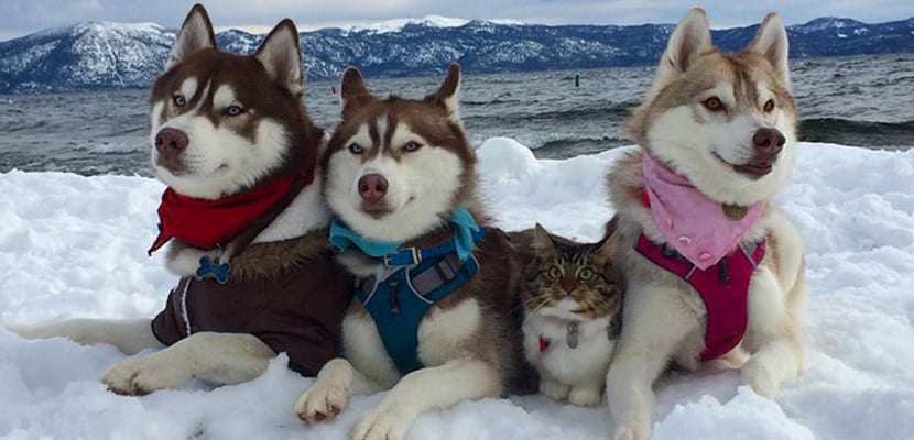 Rosie en la nieve con los Husky