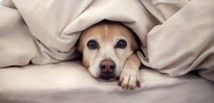 Perro tapado con mantas.