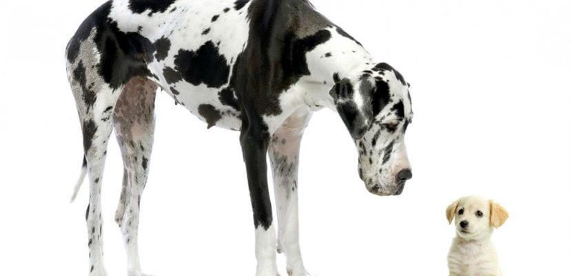 Dogo Alemán o Gran Danés moteado junto a un cachorro de Golden Retriever..
