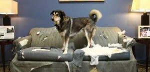 Perro sobre un sofá destrozado.