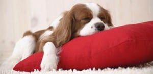 Cavalier King Charles Spaniel durmiendo sobre un cojín.