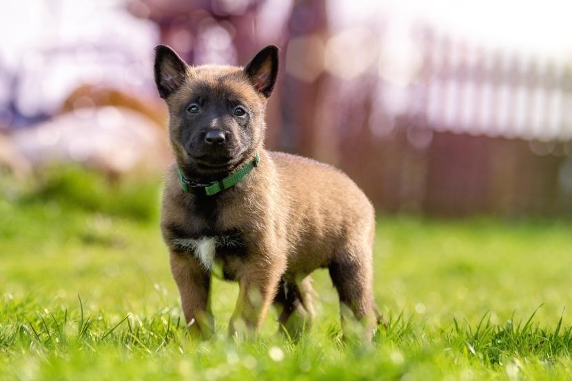 Cachorro de pastor belga