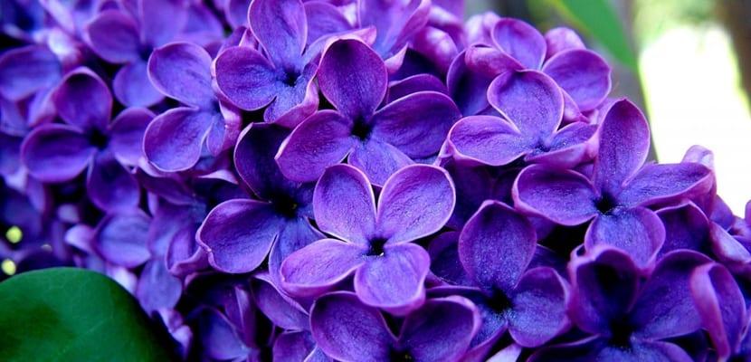 Plantas tóxicas, lila