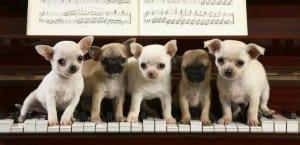 Chihuahuas sobre un piano.