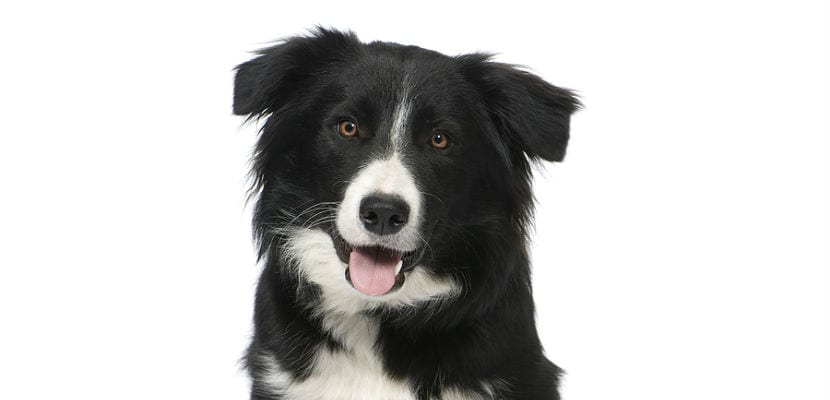 Border Collie negro y blanco.