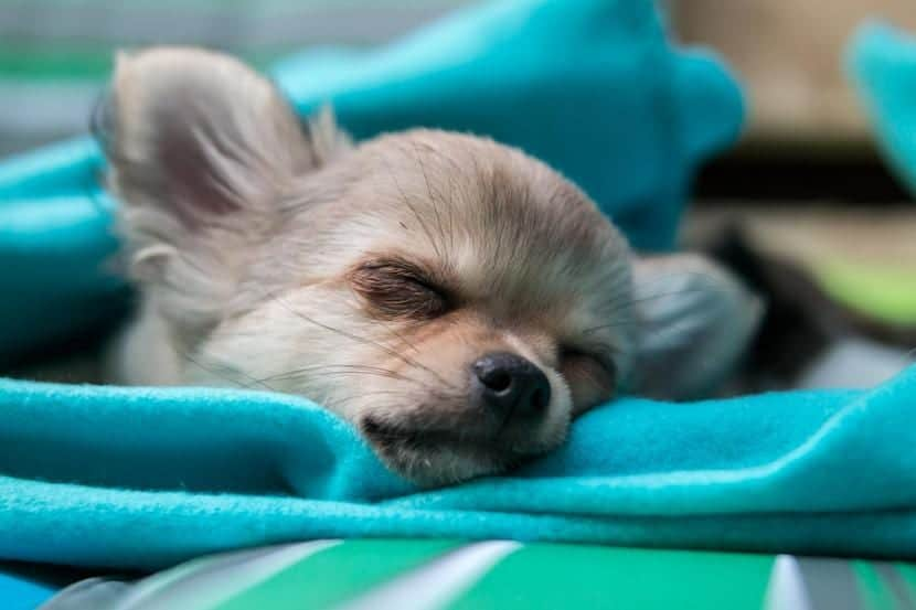 Chihuahua durmiendo