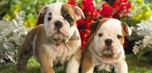 Enfermedades comunes en cachorros