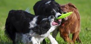 Perros jugando juntos
