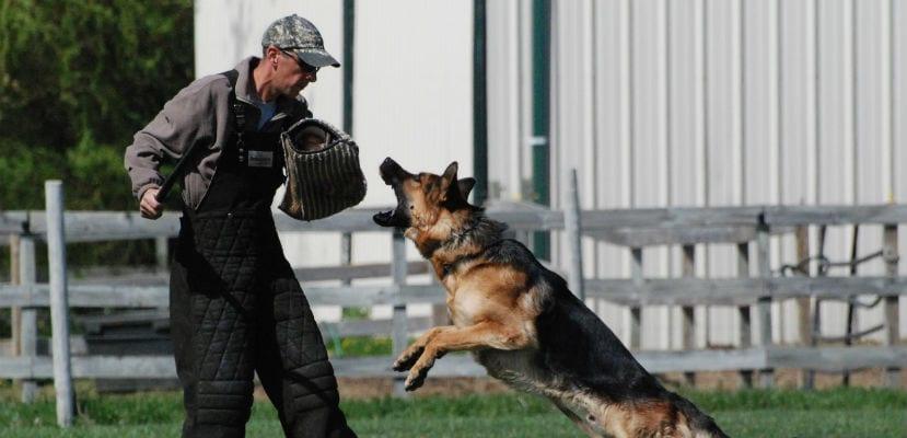 Pastor Alemán practicando Schutzhund.