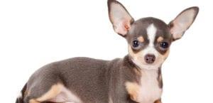 Chihuahua blanco y negro.