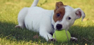 Jack Russell Terrier mordiendo una pelota de tenis.