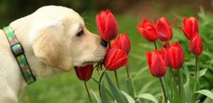 Labrador olfateando unas flores.