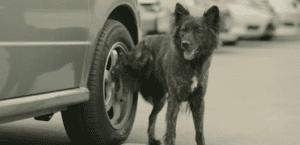 Perro orinando sobre la rueda de un coche.