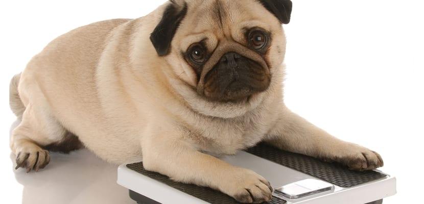 Alimentación del perro obeso