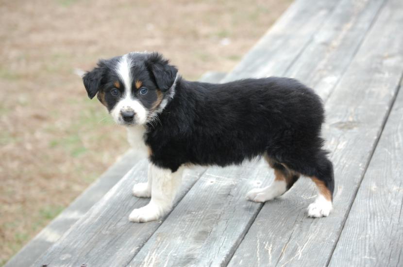 Cachorro australiano