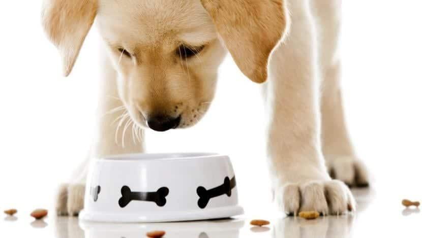 Cachorro comiendo pienso