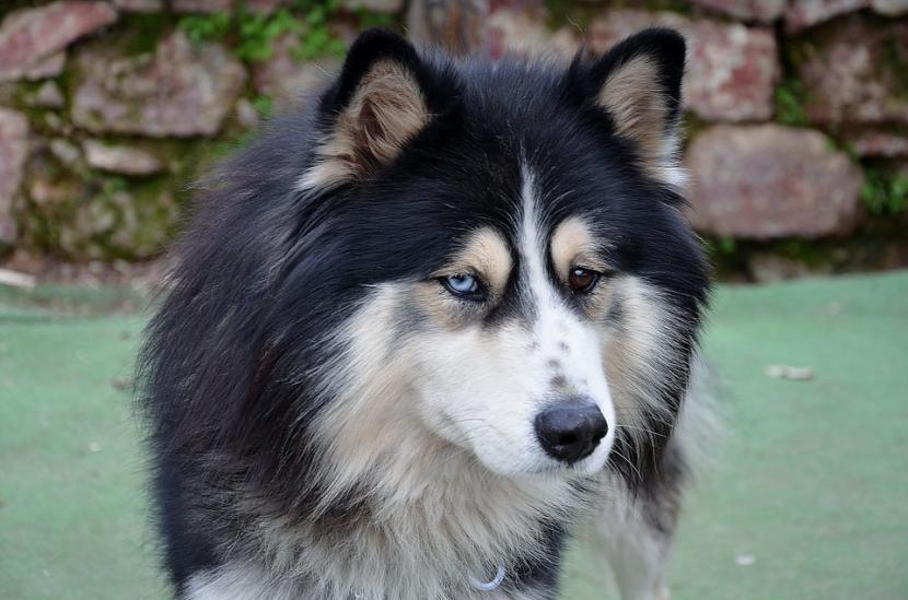 Perro australiano