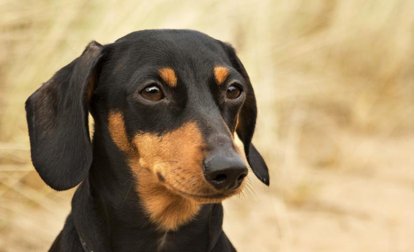 El Perro Salchicha Tipos Carácter Salud Curiosidades Y
