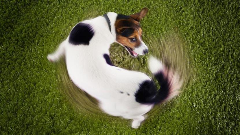 Perro se muerde la cola
