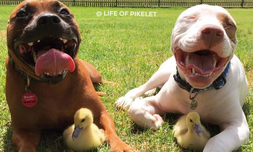 perros y patos