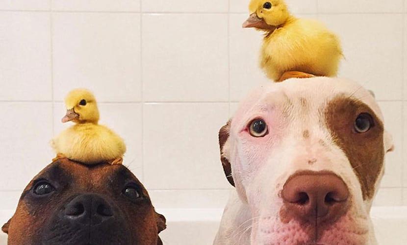 Amistades de perros y patos