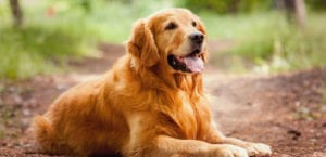 Golden Retriever en el campo.