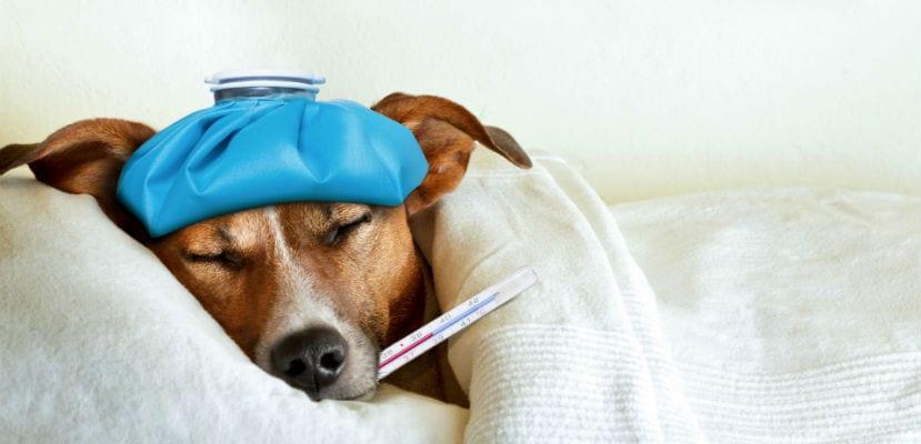 Perro con fiebre.