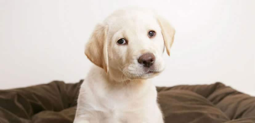 Cachorro de Labrador.