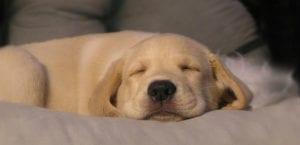 Labrador Retriever durmiendo.