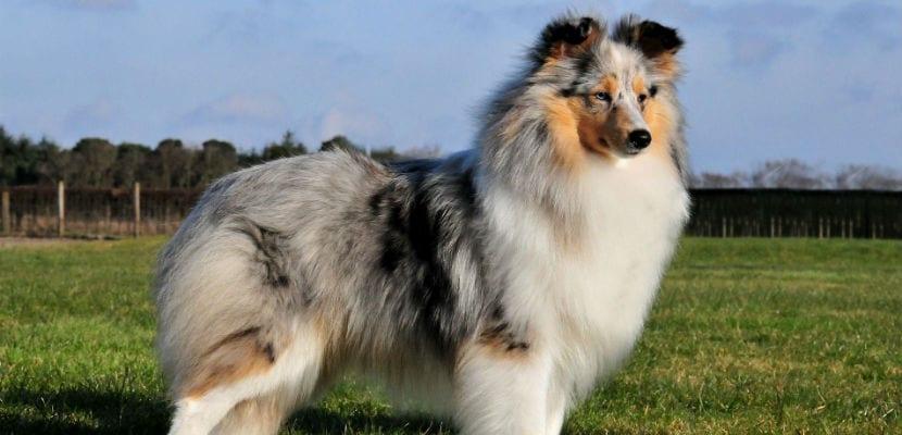 Perro Pastor de las Shetland o Sheltie.