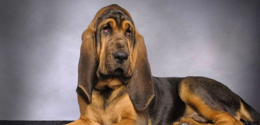 Bloodhound adulto.