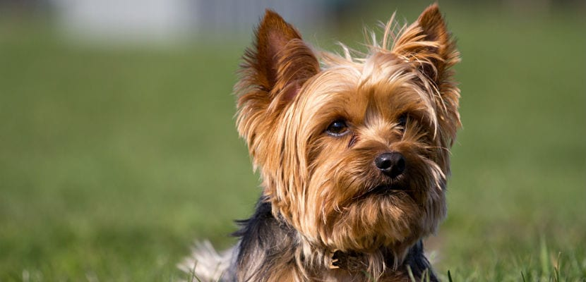 Yorkshire Terrier adulto.