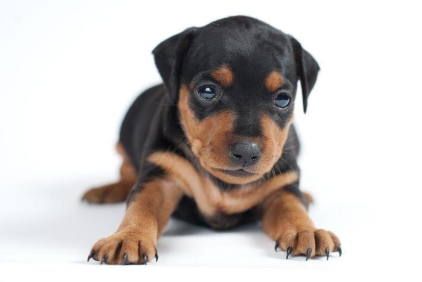 Cachorro de doberman