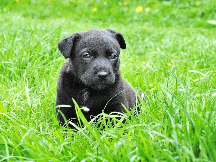 Cachorro de Hovawart