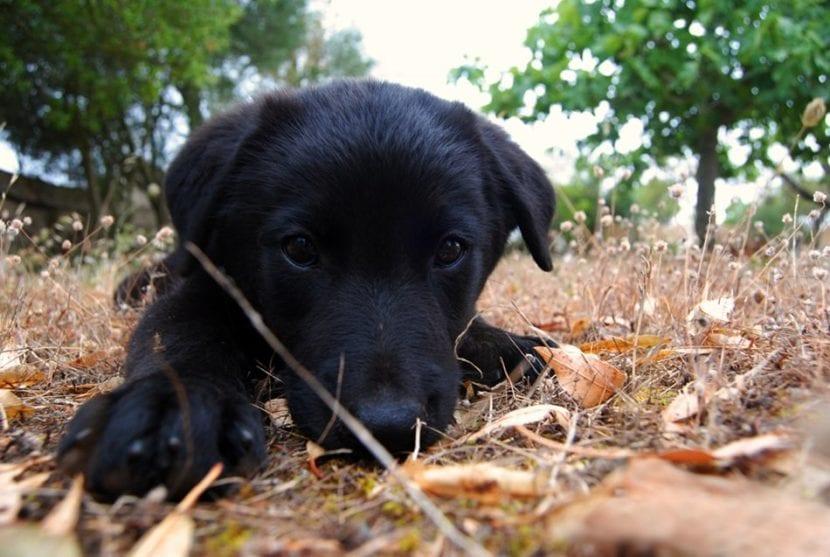 Cachorro de pastor mallorquín