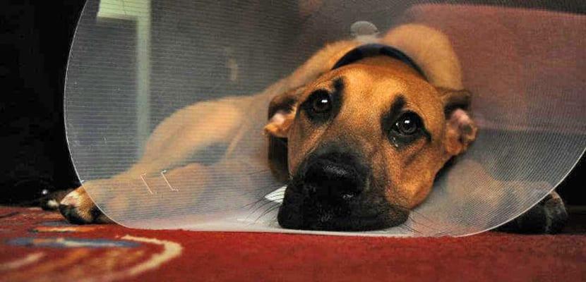 Curar las heridas al perro