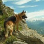 Pastor alemán en la montaña