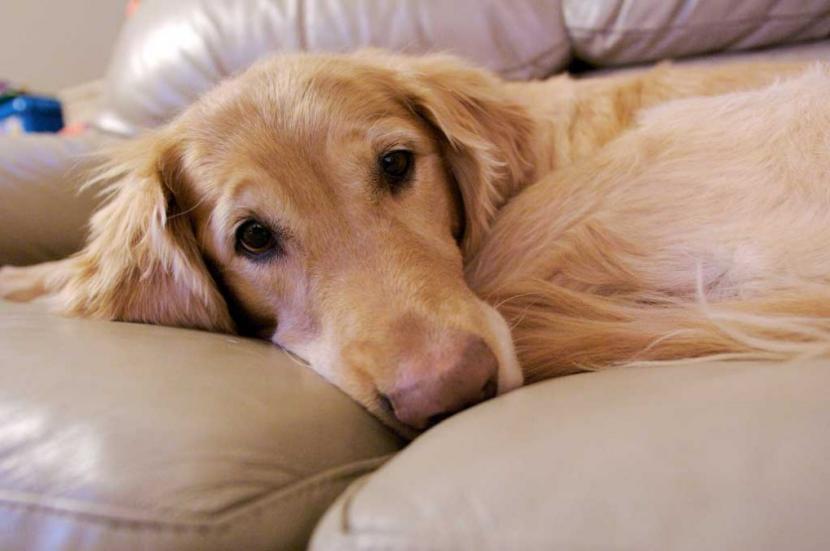 Perra embarazada tumbada en el sofá