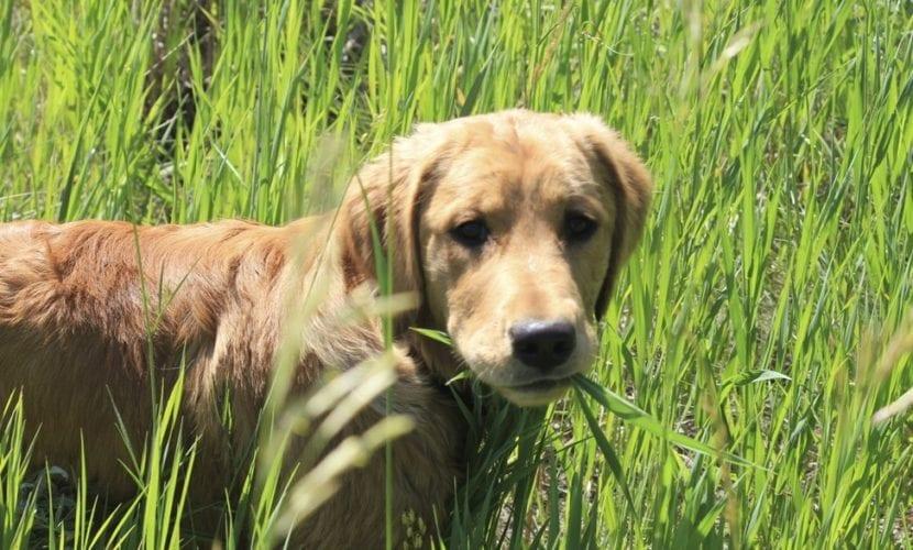 Perro comiendo hierba