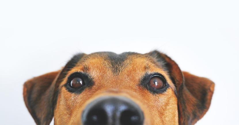 Perro dulce