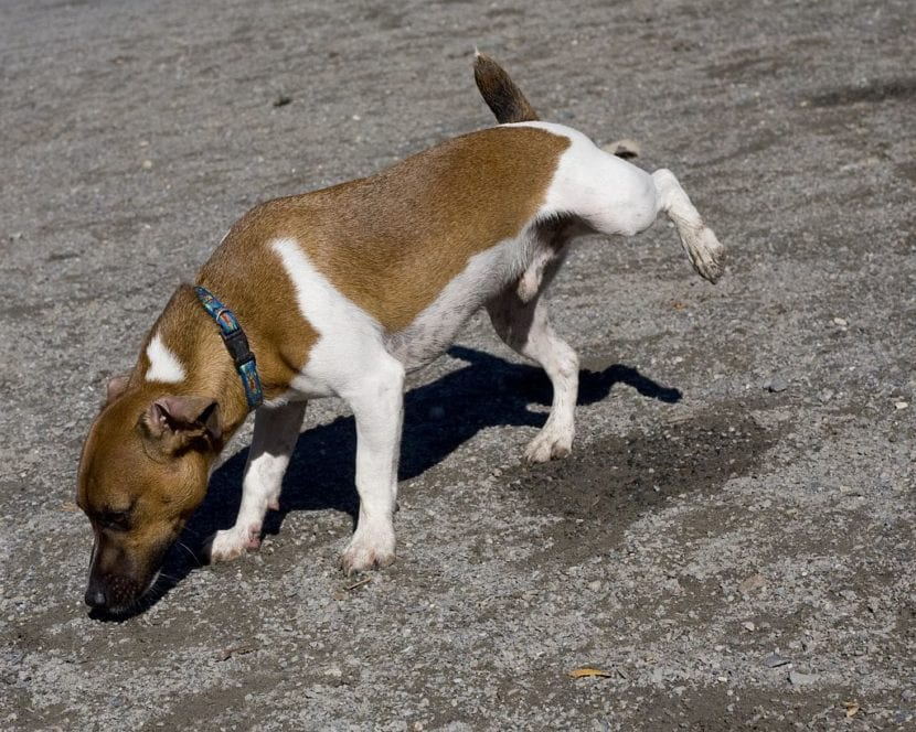 Perro haciendo pis