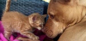 Pitbull adopta gato