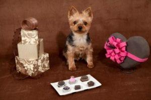Por qué un perro no puede comer chocolate