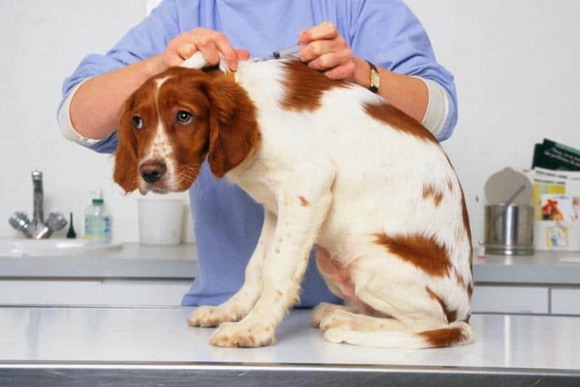 Vacuna perro